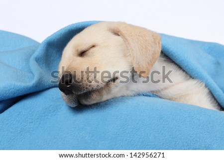8 week old labrador puppy sleeping on a blue blanket - white background - stock photo