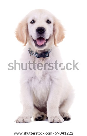 6 weeks old, adorable and curious Golden Retriever puppy. - stock photo