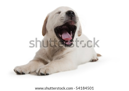 6 weeks old adorable Golden Retriever puppy yawning, a little tired of being a model in the studio. He was returned to his mother and siblings shortly after. Shallow DOF. Focus on tongue and jaws. - stock photo