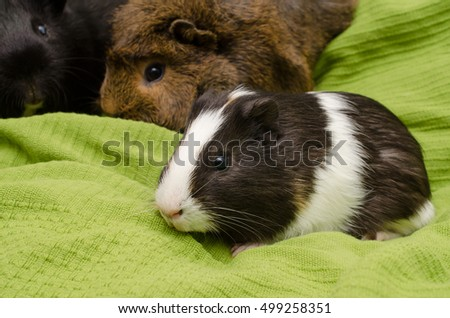 12 weeks old guinea pig with adult buddies