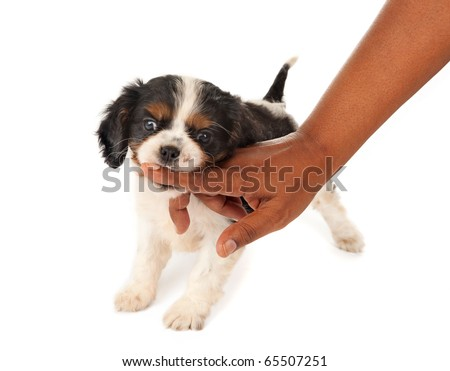 7 weeks old King Charles spaniel puppy biting a woman in her hand - stock photo