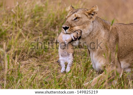 2 weeks old lion cub is carried by its mother in the mouth in Masai Mara, Kenya - stock photo