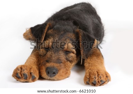 8 weeks old little Airedale terrier puppy sleeping - stock photo