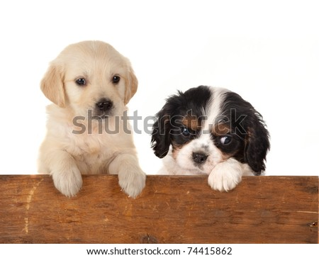 6 weeks old puppy dogs waiting at a fence - stock photo