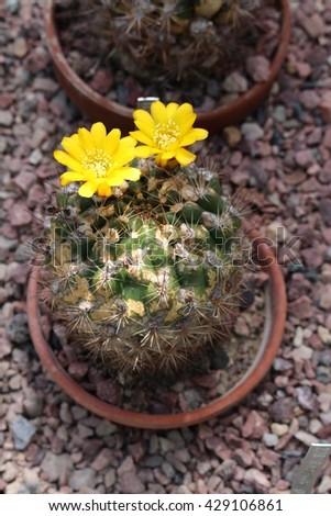 """""""Weingartia Platygona"""" cactus with blooming yellow-orange flowers in St. Gallen, Switzerland. Its Latin synonym is Rebutia Neocumingii, native to Bolivia and Peru. - stock photo"""