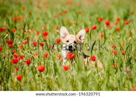 Welsh corgi pembroke puppy in the field of poppy flowers looking staight - stock photo