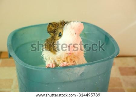 Wet Guinea Pig selective focus in blue bucket. - stock photo
