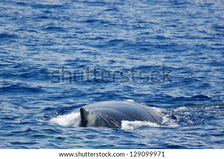 Whale. 	Humpback whale are swimming next to coast of Hawaii island. Back of adult Humpback whale. - stock photo