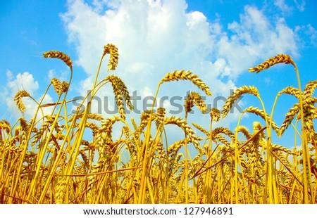 Wheat close-up, with sunny sky - stock photo