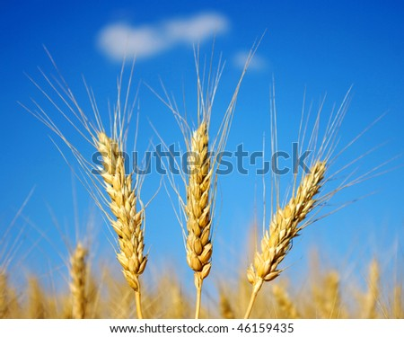 Wheat close-up, with sunny sky