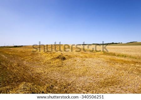wheat field at harvest. Blue sky. - stock photo