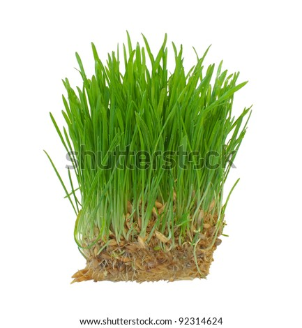 wheat grass growing from the roots isolated on a white background - stock photo