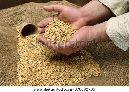 wheat sowing seed in man's hand - stock photo
