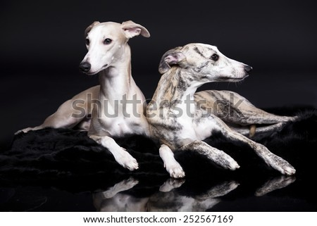 whippets posing on a black background