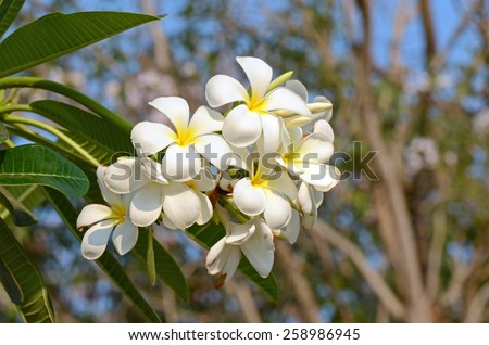 White and yellow Plumeria spp. (frangipani flowers, Frangipani, Pagoda tree or Temple tree) on natural background with bokeh. - stock photo