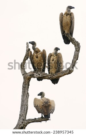 Vulture Stock Photos Royalty Free Images Amp Vectors