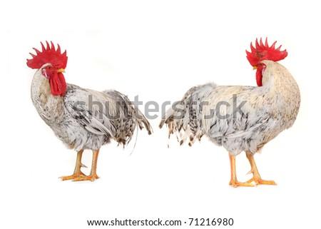 white cock on a white background - stock photo