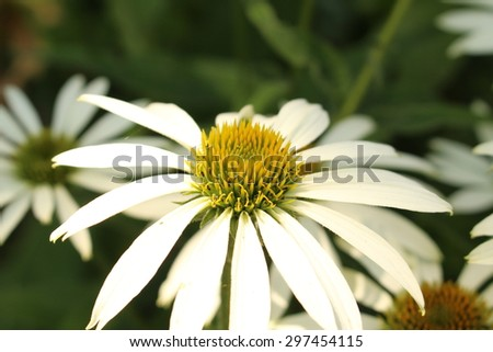 """White Coneflower"" (or White Echinacea) in Innsbruck, Austria. Its scientific name is Echinacea Purpurea White Swan and it is a hybrid flower. (See my other flowers)"