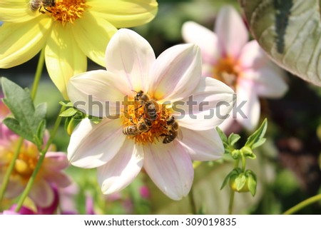 """White """"Dahlia Twynings After Eight"""" flower with bees in Innsbruck, Austria. It is classified as """"Single Flowered Dahlia"""" and native to Mexico.  - stock photo"""