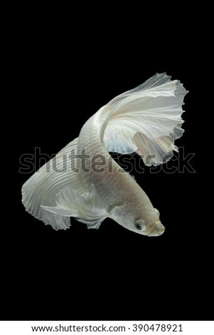 white Fighting fish isolated on a black background.