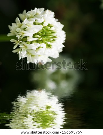 White flower clover reflected in water surface.  - stock photo