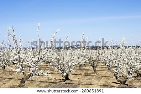 White fruit trees in blossom - stock photo