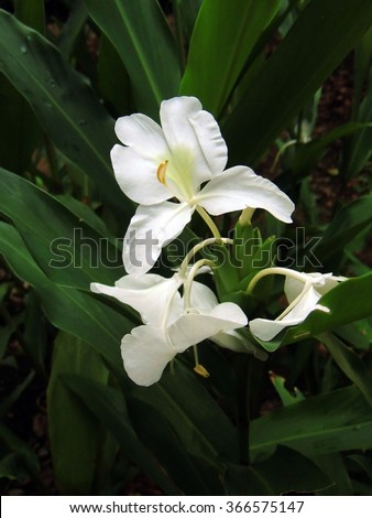 White ginger flowers fort canning park stock photo royalty free white ginger flowers in fort canning park in singapore mightylinksfo