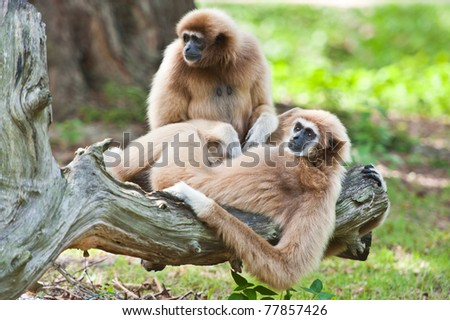 White handed Gibbon or Lar Gibbon - stock photo
