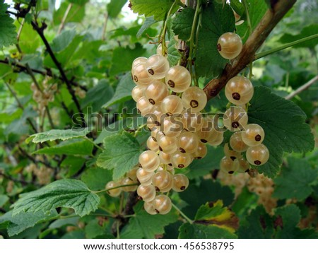 White or yellow color currants on bush branch close up macro.                               - stock photo