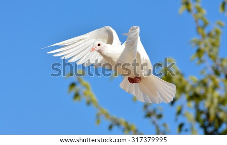 White pigeon flying with open wings, Dove in the air with wings wide open in-front of the blue sky - stock photo