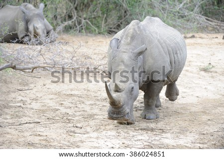 White Rhinoceros (Ceratotherium simum) Brought back from the brink of extinction in the 60's by the work of  Natal Parks Board,  is once again endangered by  activities of Asian poaching syndicates.  - stock photo