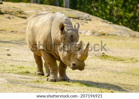 White rhinoceros or square-lipped rhinoceros, Ceratotherium simum. Here a female is seen walking in enclosure. - stock photo
