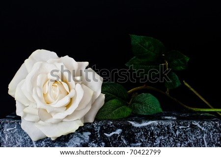 ,white rose, - stock photo