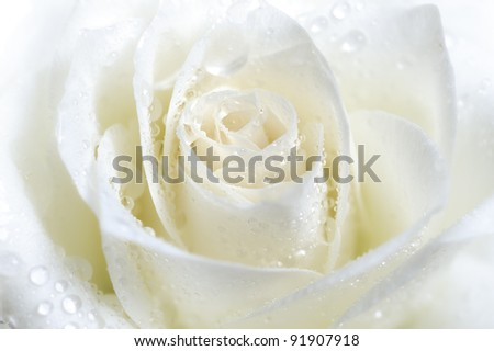 white rose with water drops closeup - stock photo