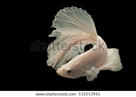White Siamese fighting fish isolated on black background