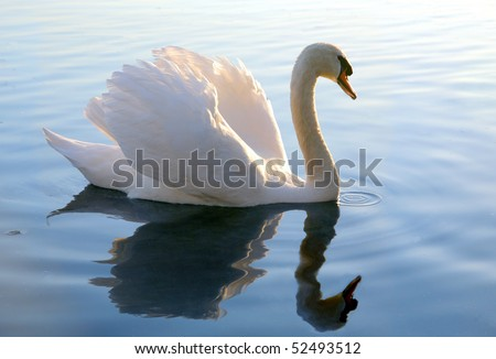 white swan displaying plumage