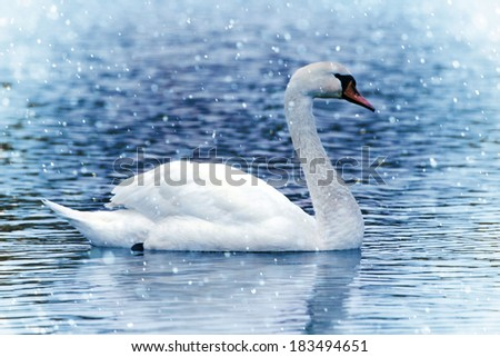 White Swan under snowfall on the blue lake  - stock photo