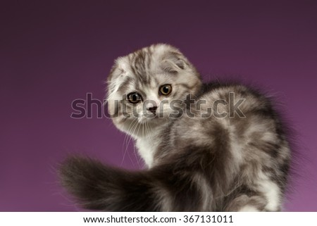 White Tabby Scottish Fold Kitten Playing with Tail on Purple Background - stock photo