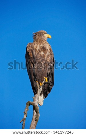 White-tailed Eagle, Haliaeetus albicilla, bird of prey with blue sky in background, Norway - stock photo