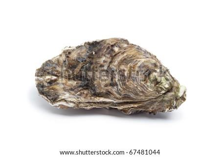 Whole single fresh raw oyster on white background - stock photo