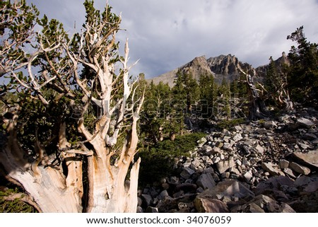 Wide angle view of Bristlecone Pine tree and Wheeler Peak at Great Basin National Park, Nevada, USA. - stock photo