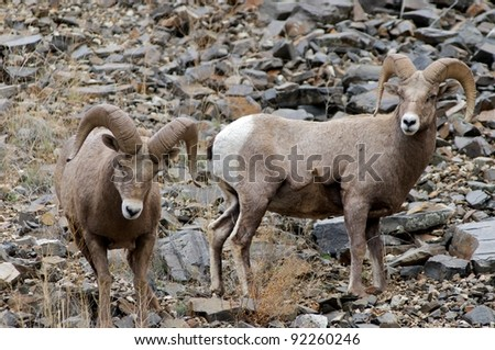 Wild bighorn sheep (Ovis canadensis) in Idaho - stock photo
