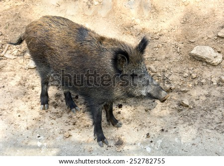 Wild boar in their natural habitat.  - stock photo