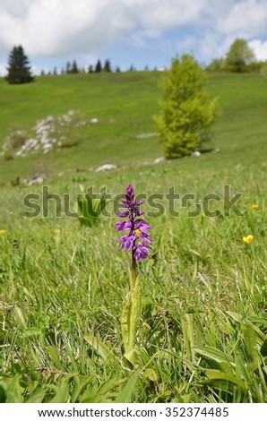 Wild orchid in the meadow (Orchis mascula) - stock photo