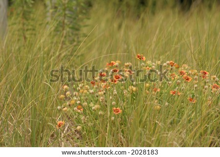 """Wildflowers And Tall Grass"" Orange wildflowers blow back and forth with the tall grass, and help preserve the natural appearance of the sand dunes along the coast. Makes a nice background. - stock photo"