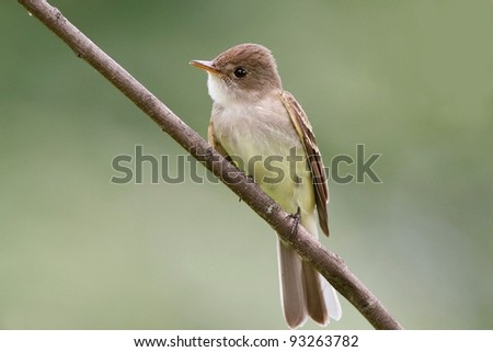 ,willow flycatcher - stock photo
