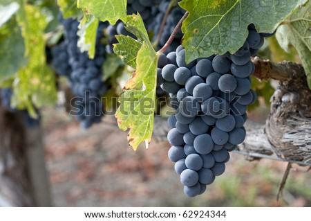 wine grape clusters ready for harvest, taken in mid october, Napa Valley wine country