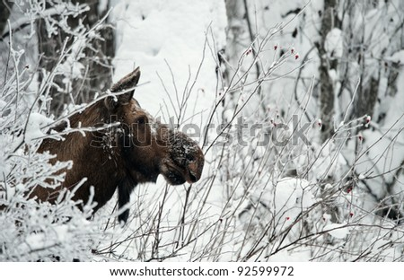 Winter Portrait of an moose. An moose in snow-covered bushes.Alaska moose, Tundra moose, Yukon moose (Alces alces gigas), female in winter, USA, Alaska