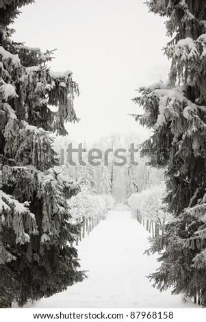 winter trees on snow white background - stock photo