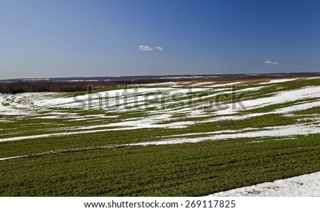 winter wheat crops in early spring. On the field, the snow melts. - stock photo